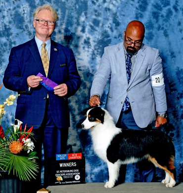 Cardi earns her Championship at St. Petersburg Dog Fanciers Association