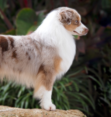 Available Puppies | Dynasty Miniature American Shepherds